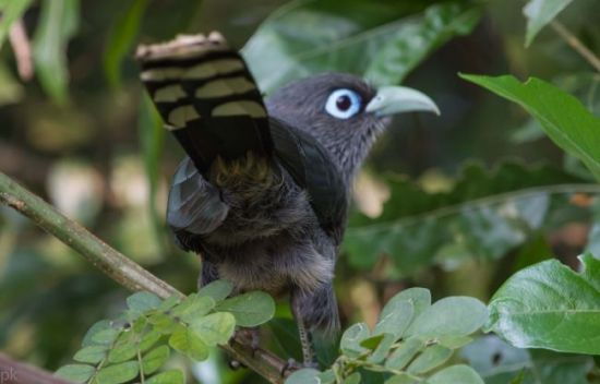 Blue-eyed Malkoha (photo: P. Kolli)
