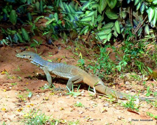 Young monitor lizard (udumbu)