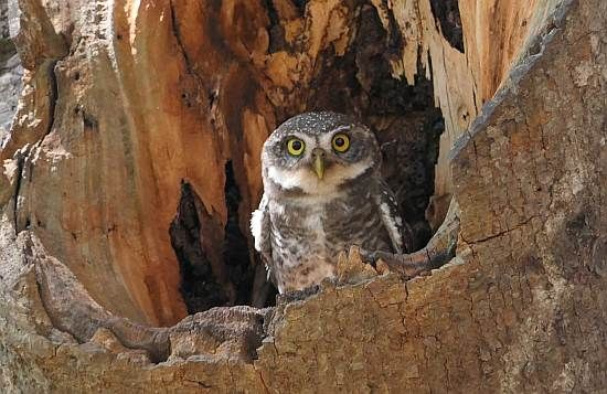 Owlets back at the banyan tree (photo Manohar)